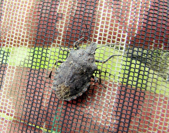 Stinkbug (Pentatomid sp.)