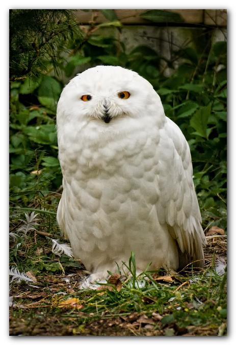 Snowy Owl IV
