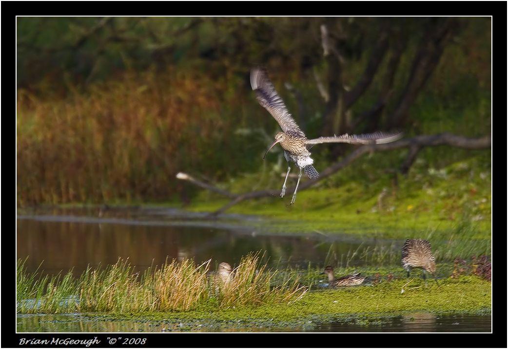 curlew landing.jpg