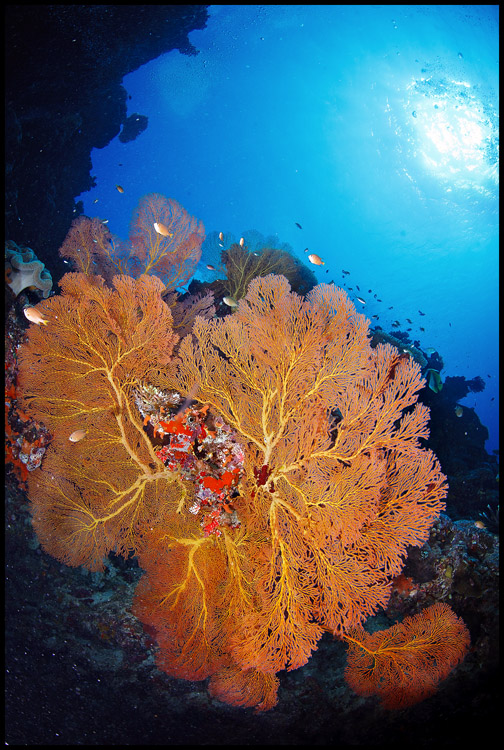 Moso Gorgonian 2