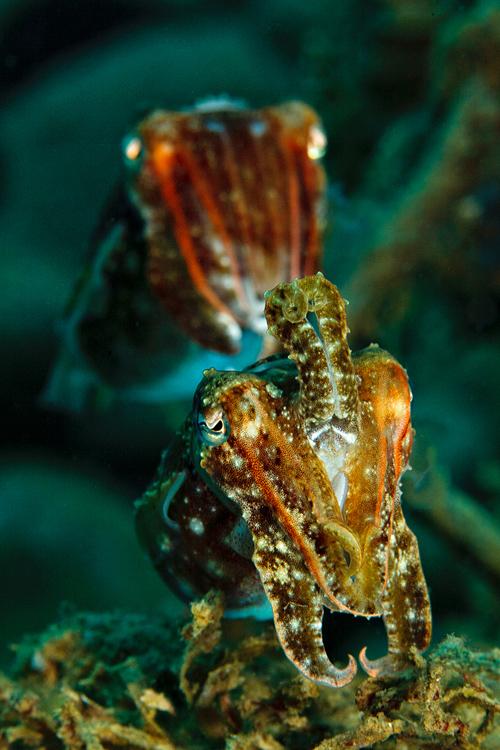 Inquisitive cuttlefish