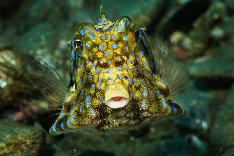 Eye to eye with a cowfish