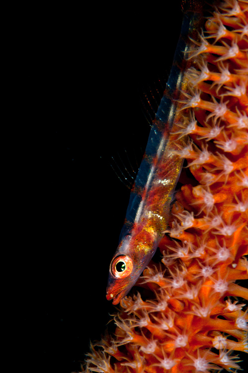 Whip coral goby Ambon