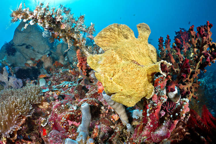 Sahaung Giant Frogfish