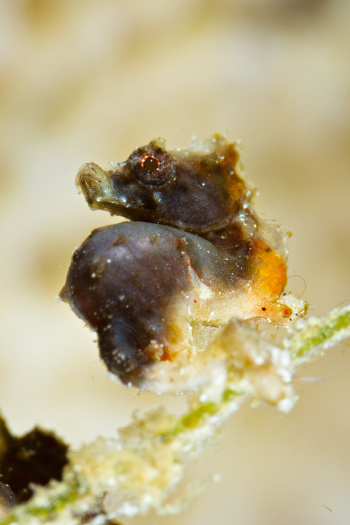 Severnsi Pygmy Seahorse