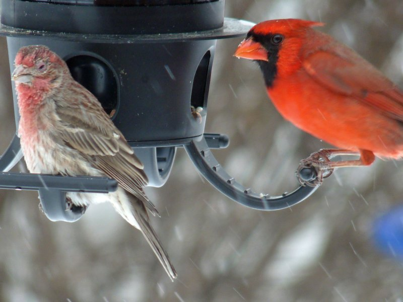 rose finch and cardinal