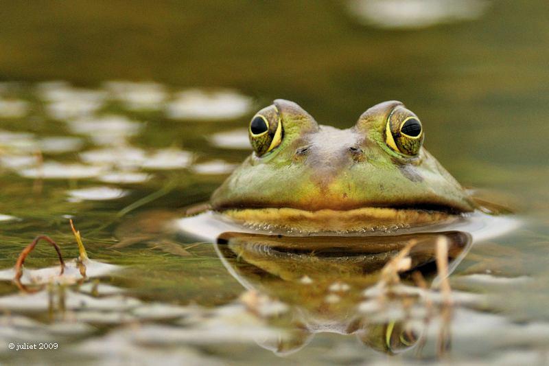 Grenouille verte (Green frog)