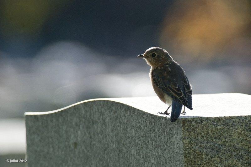 Merle bleu (Eastern bluebird)