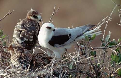 White-Tailed Kite.jpg