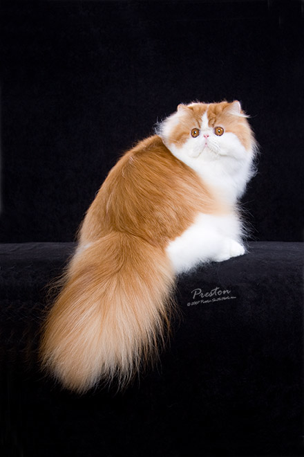 GCH Sho-Dazzler Fire and Ice