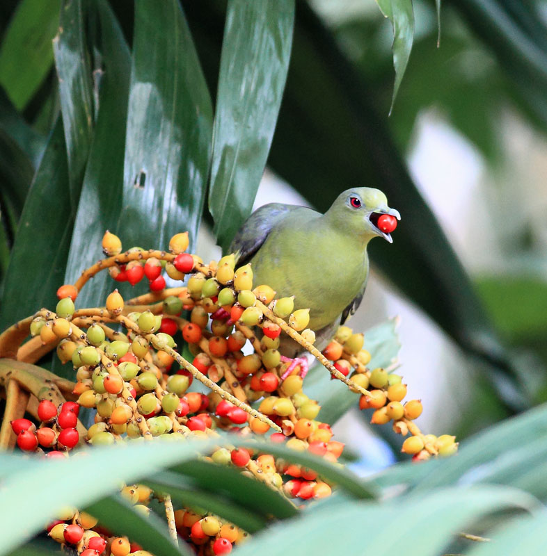 Pink-necked Green Pigeon, female