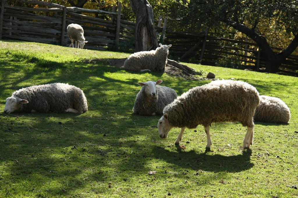 Leister Borders Sheep