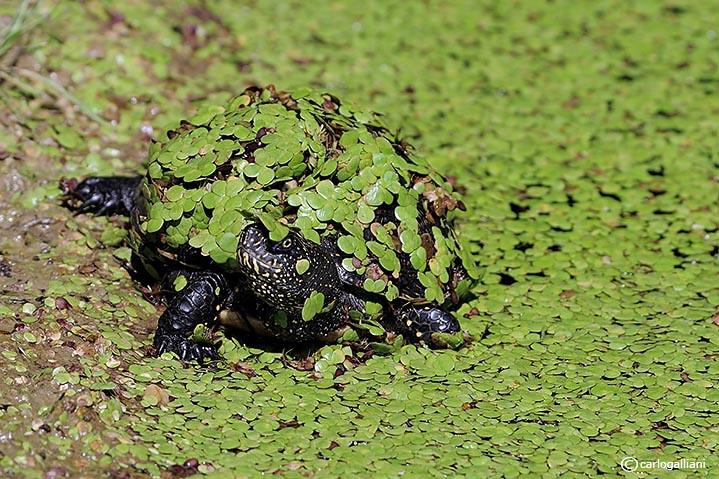 Testuggine dacqua -European Pond Terrapin  (Emys orbicularis)