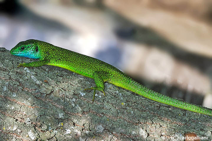 Ramarro occidentale- Western Green Lizard  (Lacerta bilineata)