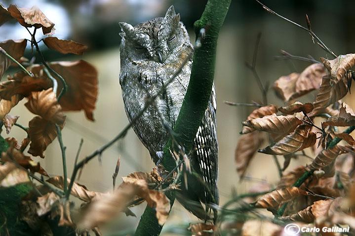 Assiolo-European Scops Owl (Otus scops)