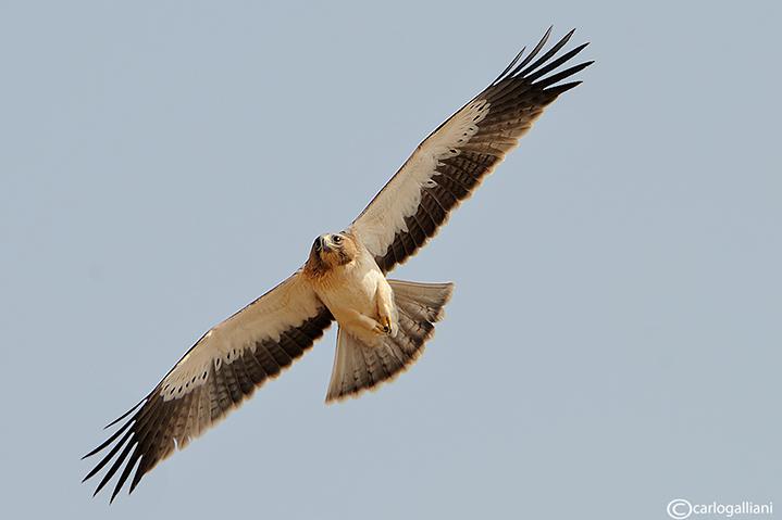 Aquila minore- Booted Eagle (Aquila pennata)
