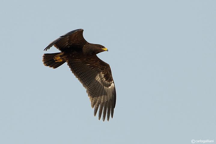Aquila anatraia minore-Lesser Spotted Eagle (Aquila pomarina)