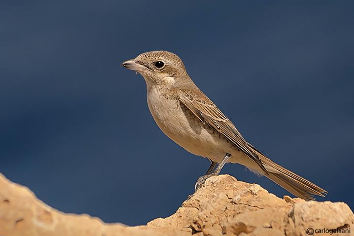 Averla piccola -Red-backed Shrike(Lanius collurio)