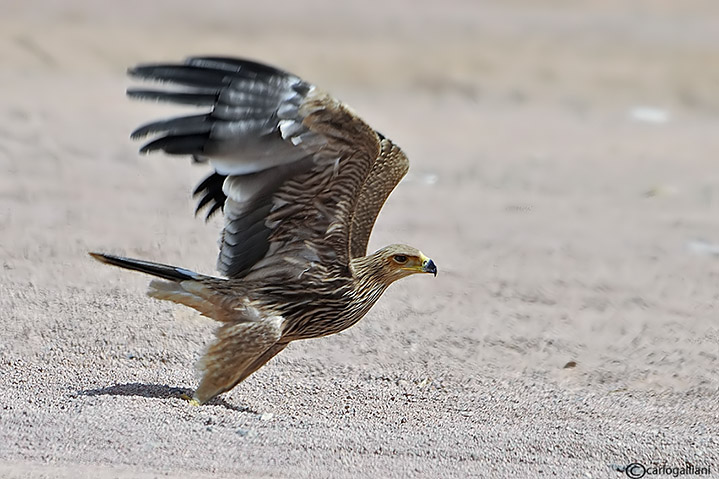 Aquila imperiale (Aquila heliaca)