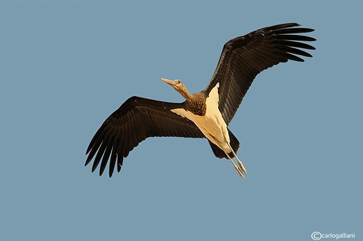 Cicogna nera-Black Stork  (Ciconia nigra)
