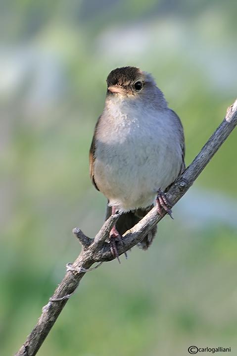 Usignolo di fiume-Cettis Warbler (Cettia cetti)