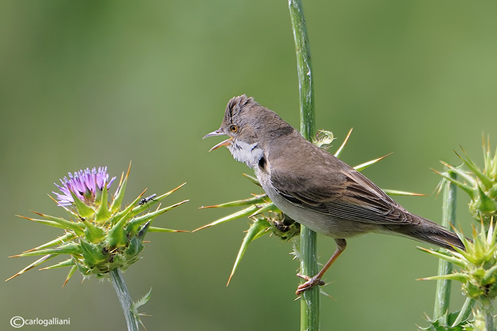 Sterpazzola- Common Whitethroat (Sylvia communis)