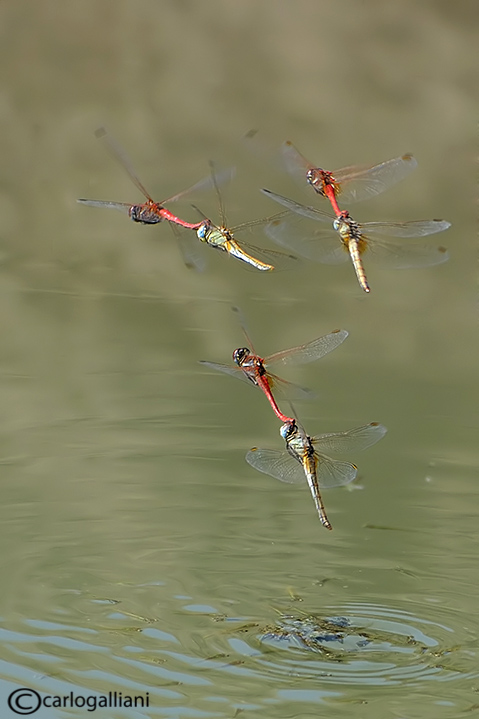 Sympetrum fonscolombei - Ovodeposition in flight