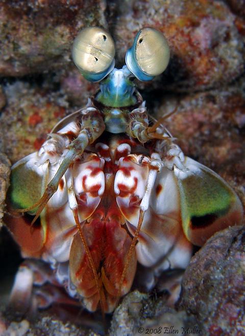 Odontodactylus havanensis