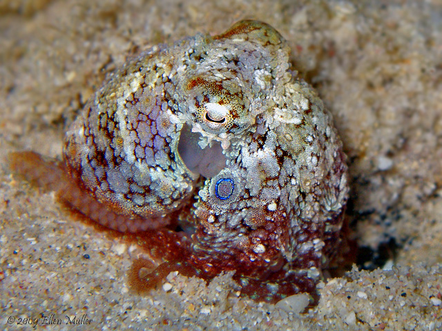 Caribbean Two Spot Octopus