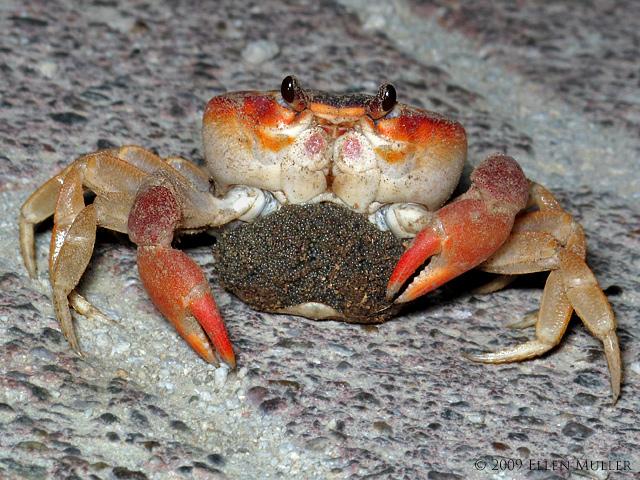 Land Crab w/Eggs