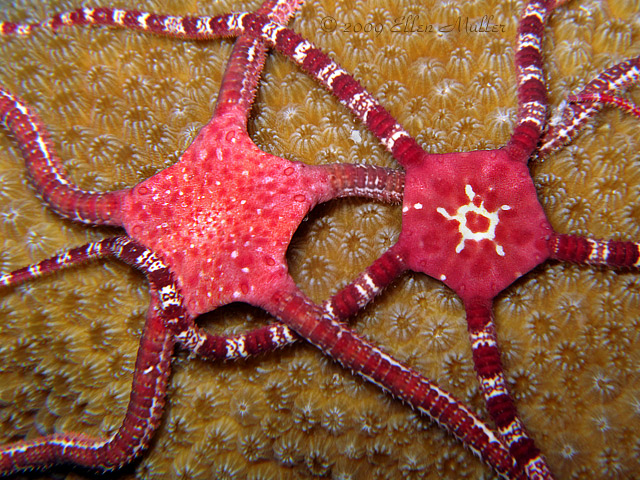 Brittle Star Love