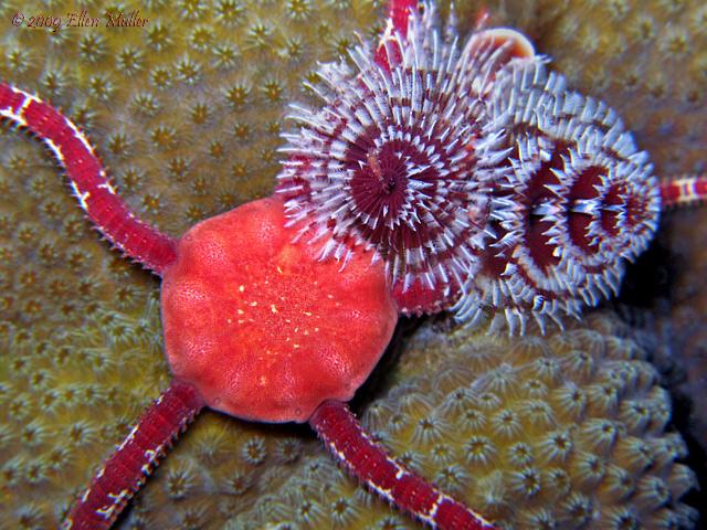 Brittle Star & Worm