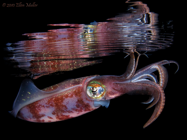 Squid Reflections