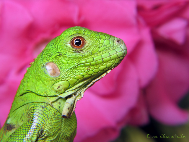 Baby Iguana on Pink