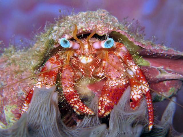 Star-Eye Hermit Crab