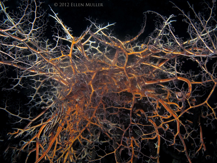 Basket Star Spawning