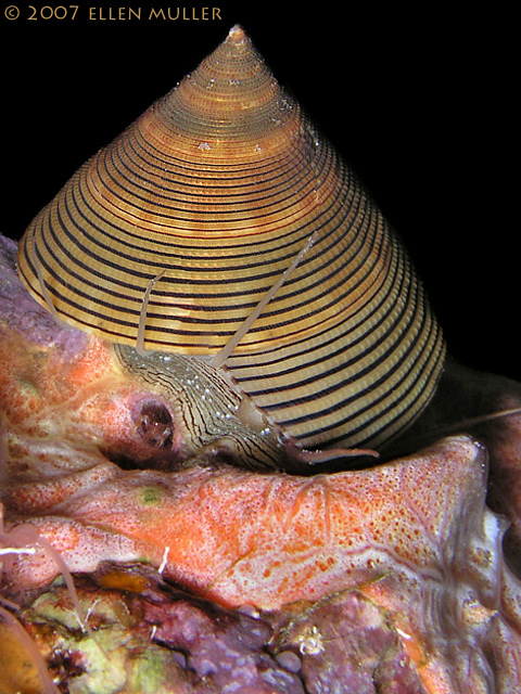 Chocolate-Lined Topsnail