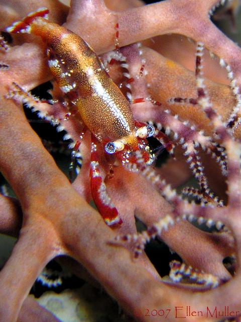 Basket Star Shrimp