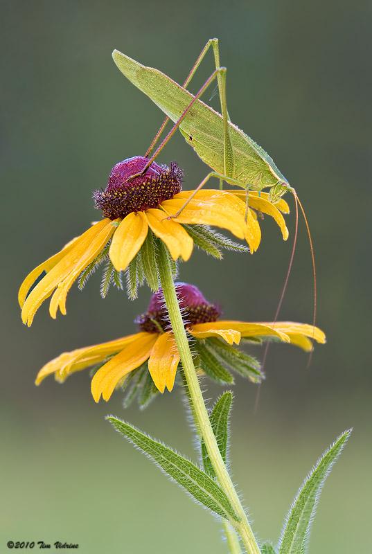 Katydid (Bush Cricket)