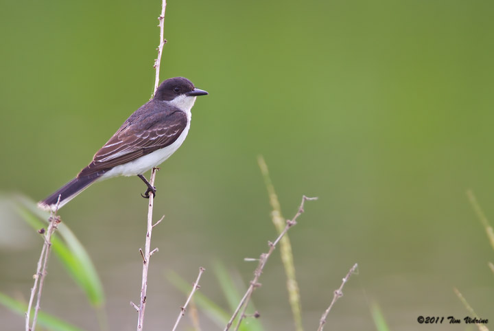 Eastern Kingbird,