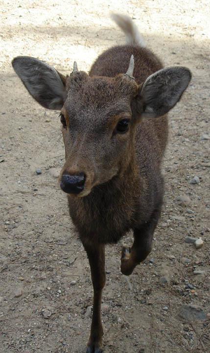 Sacred deer in Nara