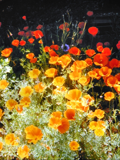 Poppies in Sebastapol