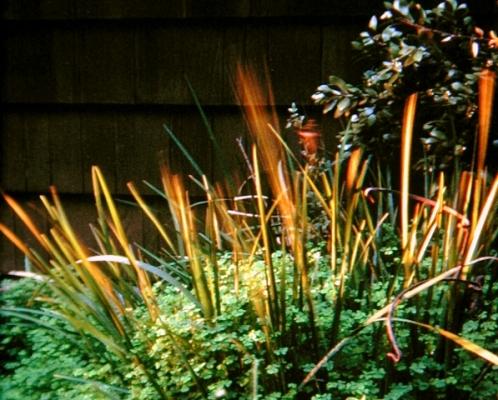 Waving Grasses in Berkeley