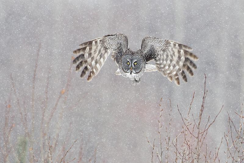 great gray owl 032211_MG_0390