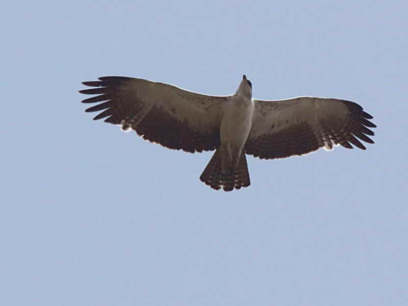 Martial Eagle (juvenile), Mole NP, Ghana