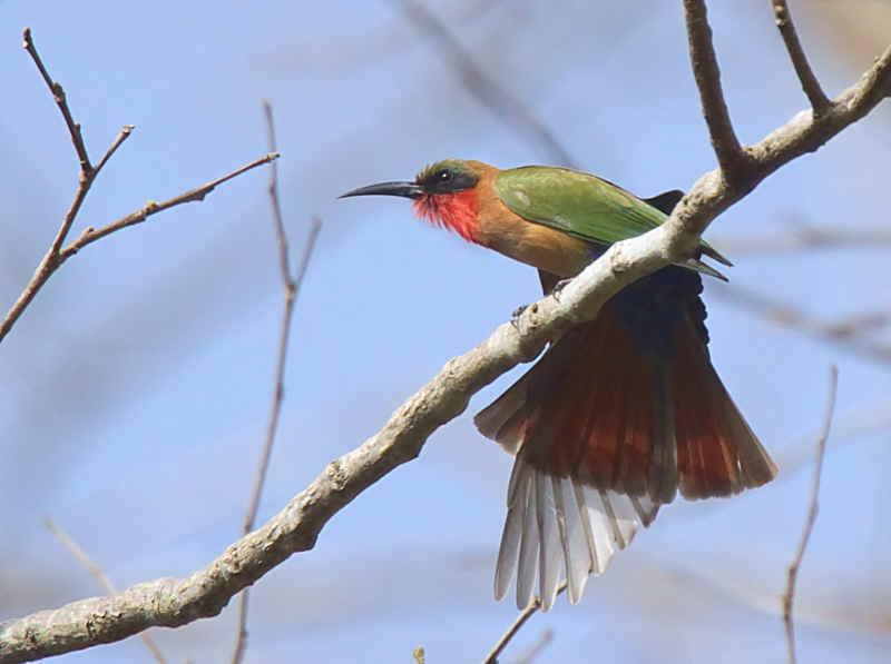 Red-throated Bee-eater, Mole NP, Ghana