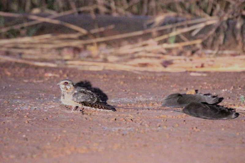 Standard-winged Nightjar, Mole NP, Ghana