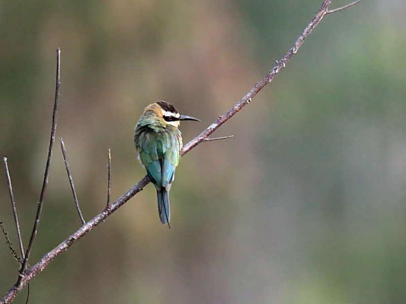 White-throated Bee-eater, Winneba Plains, Ghana