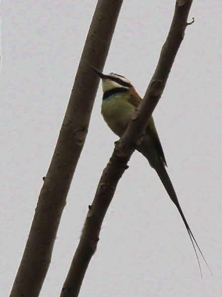 White-throated Bee-eater, Atewa Hills, Ghana