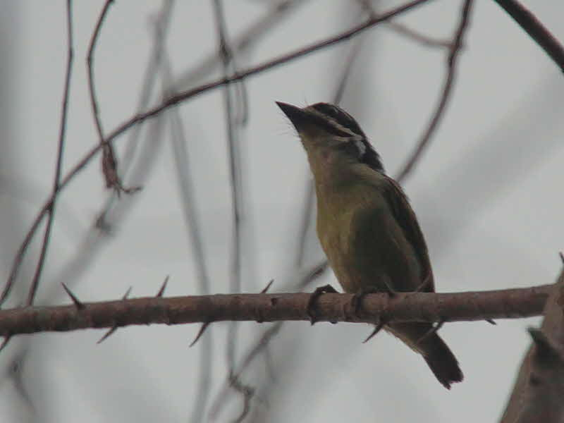 Yellow-throated Tinkerbird, Kakum NP, Ghana